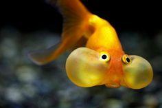 Gold Fish?