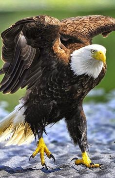 √ 11 Types of Eagles in The World With Awesome Pictures The Eagles, Types Of Eagles, Bald Eagles, All Birds, Birds Of Prey, Exotic Birds, Colorful Birds, Haliaeetus Leucocephalus, Photo Aigle