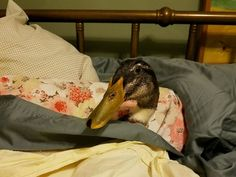 PHOTO: Daniel the duck is an emotional support animal for 37-year-old Carla Fitzgerald from Milwaukee, Wisconsin. Daniel provides comfort for Fitzgerald, who has post-traumatic stress disorder.