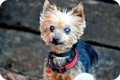 Wetumpka, AL - Yorkie, Yorkshire Terrier. Meet 42233 Custer, a dog for adoption. http://www.adoptapet.com/pet/11973839-wetumpka-alabama-yorkie-yorkshire-terrier