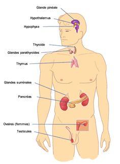 systeme-endocrinien