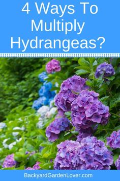 flower garden care Looking for a way to multiply hydrangeas Here are tips for how to grow more hydrangea plants and how to root them from cuttings in water and in soil. Also learn how to care for your hydrangea shrubs. Hydrangea Shrub, Hydrangea Care, Hydrangea Colors, Hydrangea Landscaping, Garden Landscaping, Landscaping Melbourne, Landscaping Ideas, Farmhouse Landscaping, Luxury Landscaping