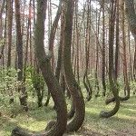 Over 400 trees in Poland approx 80 years old. Grown with a 90degree angle at the bottom part of the trunk.