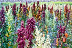 quinoa! Grows in the Andes Mountains of Ecuador