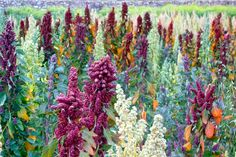 quinoa! Grows in the Andes Mountains of Ecuador
