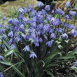 Blaustern (Ökologische Zwiebeln im Topf)