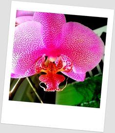 Tästäkin orkideasta kurkkii vaaleanpunainen pantteri!