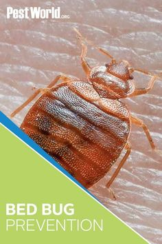Where do bed bugs come from? Learn about how to identify bed bugs, plus information on bed bug habits, prevention, and more advice from pest control experts. Household Bugs, Bed Bugs Pictures, Bug Trap, Bed Bugs Treatment, Bed Bug Bites, Brownie Cake, Bugs And Insects, Clothing Hacks, Green Cleaning