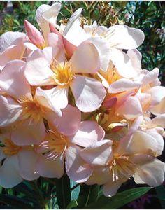 Nerium oleander 'Csömöri' – Barack-rózsaszínű leander Rose Bay, Nerium, Natural Beauty, Luxury, Flowers, Plants