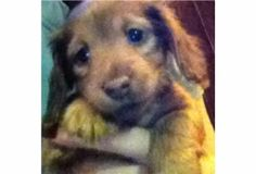 Miniature Dachshund Puppy says 'Hi'