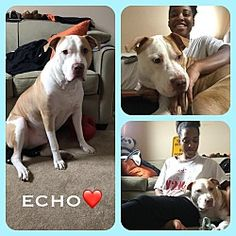 Pictures of ECHO a Pit Bull Terrier for adoption in New York, NY who needs a loving home.