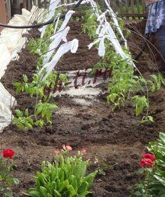 Высаживаем рассаду в грунт под пленку https://www.yh-ti.ru/2018/05/vysazhivaem-rassadu-pomidorov-i-percev-v-grunt-pod-plenochnoe-ukrytie/