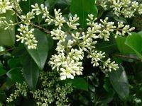 Fagyal és kecskerágó szaporítása - gazigazito.hu Turn Blue, Evergreen Shrubs, Drought Tolerant, Purple And Black, Green Colors, White Flowers, Berries, Bouquet, Bloom