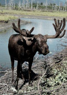 Alaskan Moose, a monumental creature