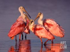 Four Roseate Spoonbills at Dawn Photographic Print by Charles Sleicher at Art.com