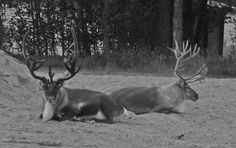 'Rendeer in Black and White' by AngelLappmarkSe Black And White, Pictures, Animals, Photos, Blanco Y Negro, Animales, Black White, Animaux, Black N White