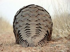 pangolin scales - Google Search