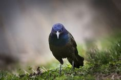 2014 National Geographic Traveler Photo Contest - In Focus - The Atlantic An Angry Bird- common Grackle