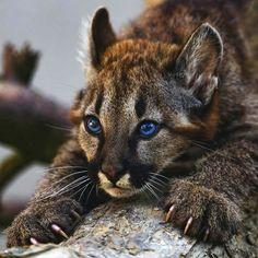 Those jaguars baby blues ... 😍