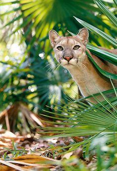 Head Shot Of Puma In Jungle by Klein-Hubert