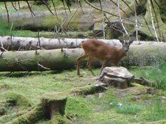 Deer in wood in Glen Coe in the Scottish Highlands | Europe a la Carte Travel Blog
