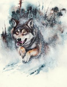 Snow Storm - wolf painting by Peter Williams 10 x 8 inches painted with watercolour and then spattered with white gouache on a piece of Arches CP paper.