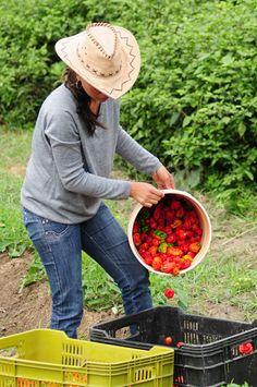 Productora Agricola, Ají Dulce, Colonia Tovar, Estado Aragua, Venezuela.