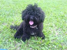 Image detail for -TAIZHI-black toy poodle stud - Naga City - Animals - baby toy poodle