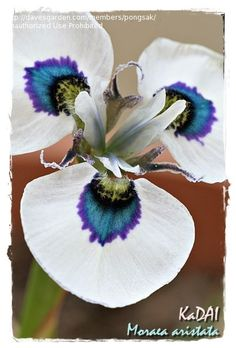 View picture of Peacock Iris (Moraea aristata) at Dave's Garden.  All pictures are contributed by our community.