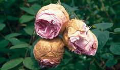 black spot on roses diseases, powdery mildew diseases, are rose fungus diseases. How to treat rose diseases Container Gardening, Gardening Tips, Rose Diseases, Black Spot On Roses, Knockout Roses, Fragrant Roses, Powdery Mildew, Black Leaves, Rose Bush