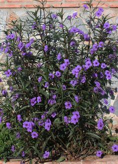 5 Purple Mexican petunia Attracts: Butterflies ***live plants – Famous Last Words Purple Flowering Plants, Blooming Plants, Plants With Purple Flowers, Purple Perennials, Purple Petunias, Wild Flowers, Tropical Garden, Tropical Plants, Landscaping Plants