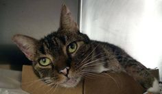 TO BE DESTROYED 10/18/14 ** GORGEOUS GREEN-EYED GIRL!! MUST SEE VET FOR MASS ON ABDOMEN! Princess interacts with the observer, appreciates attention, is easy to handle and tolerates all petting. ** Manhattan Center  My name is PRINCESS. My Animal ID # is A1016642. I am a female blk tabby and gray domestic sh mix. The shelter thinks I am about 5 YEARS old.  I came in the shelter as a STRAY on 10/07/2014 from NY 10462,