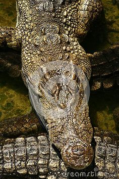 Photo about Crocodile in the crocodile farm in Bangkok. Image of shoes, crocodiles, meat - 30898989 Crocodiles, Bangkok, Nature, Naturaleza, Crocodile, Nature Illustration, Off Grid, Natural