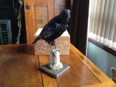 High-Quality-Taxidermy-Three-Eyed-Third-Eye-Game-Of-Thrones-Mounted-Crow-REDUCED
