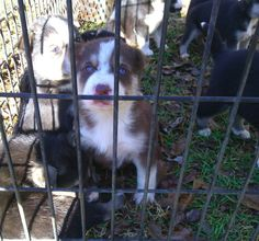 Black tri australian shepherd, Australian shepherd mix and Puppy for ...
