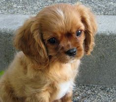 Not a Cocker, but a ruby Cavalier King Charles Spaniel. Looks like a Cocker. I Miss Kelly Sue. She was a wonderful girl. King Charles Dog, King Charles Spaniel, Cavalier King Spaniel, Cute Puppies, Cute Dogs, Dogs And Puppies, Doggies, Game Mode, Baby Animals