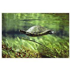 A freshwater turtle swimming underwater. Photographer: Bill Curtsinger.