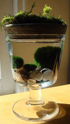 Marimo Moss Balls with Moss on Top Unique Mini Terrarium