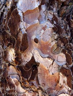 Close-up of pine tree bark - looks like a topographic map