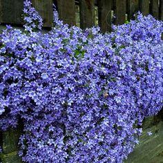 Campanula poscharskyana (Klokjesbloem) - 3 planten kopen veilig online bestellen