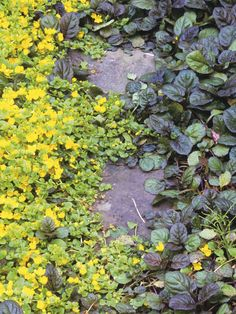 Carpet of Color. In limited space, consider using a mix of leafy plants planted close together, such as false speria, masterwort, or Endres cranesbill. You will achieve the dense effect you want, but it will be more ornamental. Low-growing creeping Jenny and common bugle suppress weeds while also providing a colorful contrast to larger plants.