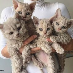 These cute kittens will brighten your day. Cats are wonderful friends. Curly Haired Cat, Curly Cat, Pretty Cats, Beautiful Cats, Animals Beautiful, Most Beautiful Cat Breeds, Selkirk Rex, I Love Cats, Crazy Cats