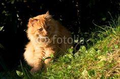 Check my #stock #photo @fotolia -#redcat #cat