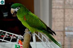 https://www.facebook.com/WonderBirdSpecies/ Red-shouldered macaw (Diopsittaca nobilis); Venezuela, the Guianas, Bolivia, Brazil, and Peru; IUCN Red List of Threatened Species 3.1 : Least Concern (LC)(Loài ít quan tâm)    Vẹt Macaw vai đỏ; Venezuela, the Guianas, Bolivia, Brazil và Peru; HỌ VẸT - PSITTACIDAE (True Parrots).