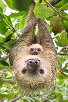 Sloth mother with baby