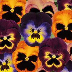 Pansy Matrix Northern Lights Collection (72 plants) - They Look like Little Moustached Faces :)