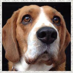 #beagle #dogeyes #Otto