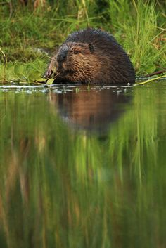 Beaver down on the pond