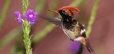 """""""colibrí coqueta lentejuada"""","""