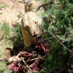 Spuntino della leonessa Kenya, Panther, Africa, Animals, Animales, Animaux, Panthers, Animal, Animais